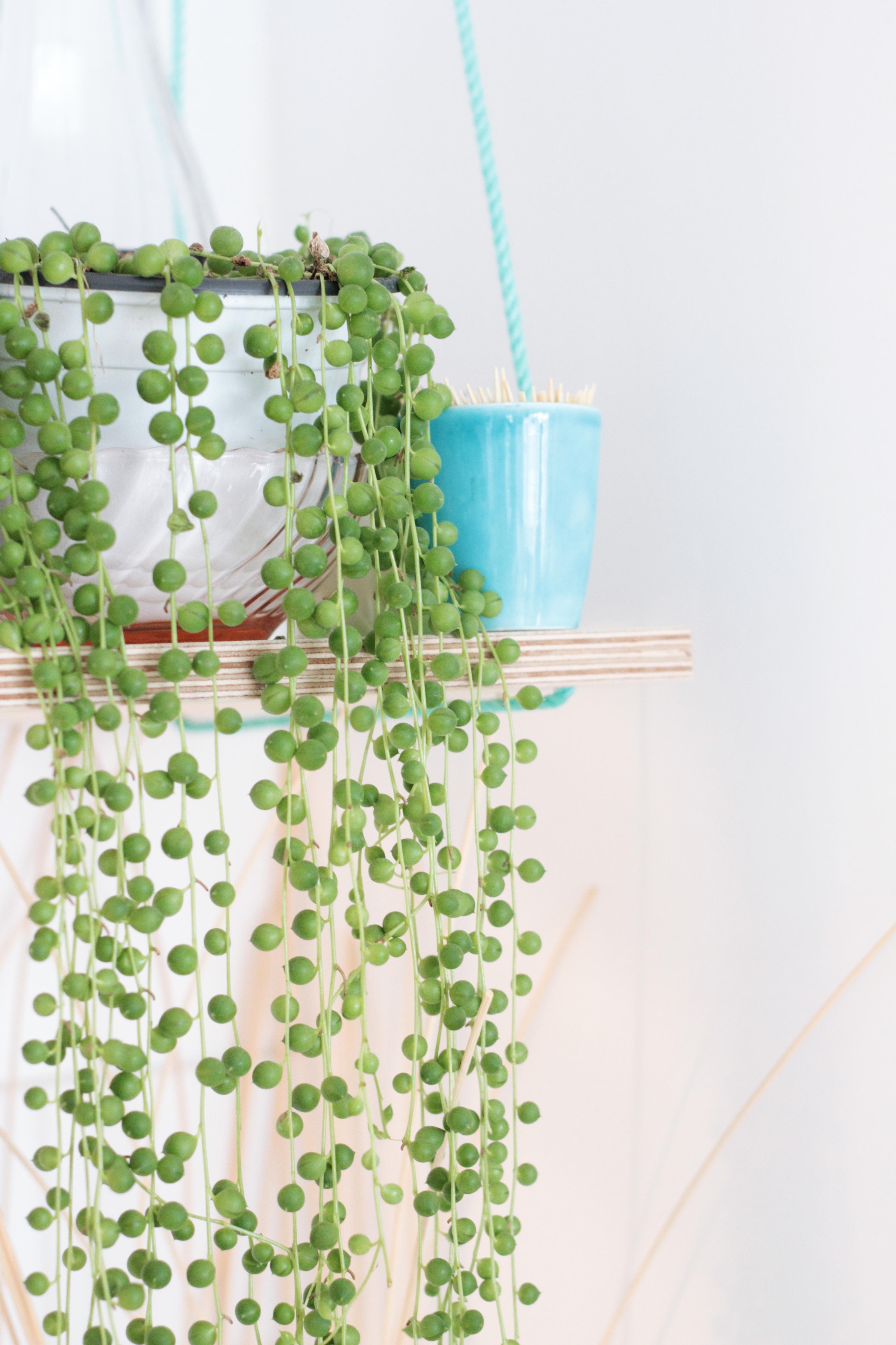 plante grasse qui retombe