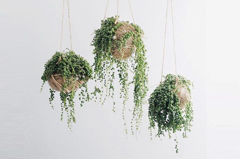 5 plantes vertes originales qui font le buzz sur les for Recherche sur les plantes vertes